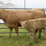 Suckler cow and calf at Tiree Agricultural Society Show