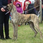 Great Dane at Tiree Agricultural Society Show