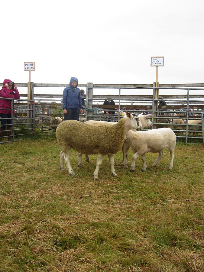 Judging Crossbred Sheep Championship